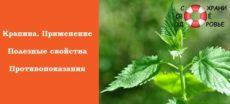 Крапива: лечебные свойства и противопоказания. Отвар для волос